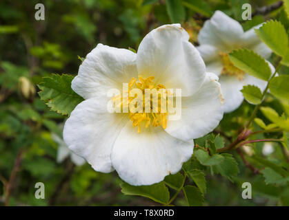White Tree Peony, a large flower from the genus Paeonia, growing in Spring (May) in West Sussex, England, UK. - Stock Image