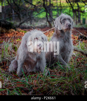 Two dogs, breed is Slovakian Rough Haired Pointer, sat in woodland on a winter afternoon - Stock Image