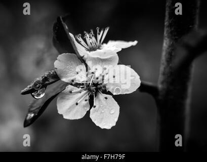 Cherry Blossom bloom - Stock Image