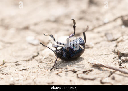 Bloody-nosed beetle (Timarcha tenebricosa) upside down on a dry path at a Surrey chalk grassland site, UK - Stock Image