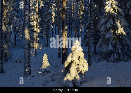 Thick snow is covering the trees in a softwood forest on a cold and sunny winter day. - Stock Image