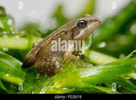 Froglet of Common Frog  Rana temporaria showing last vestiges of tail - Stock Image
