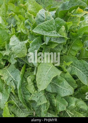Large green leaves of a cluster of Horseradish plants. - Stock Image