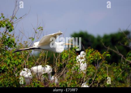 Flying egret at Smith Oaks Bird Sanctuary on High Island, near Galveston, Texas, USA - Stock Image