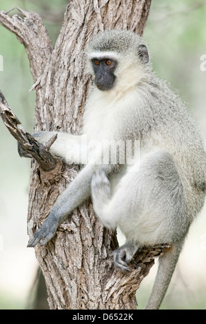 Close up of a Vervet monkey Chlorocebus pygerythrus a happy monkey perched side on in a tree - Stock Image