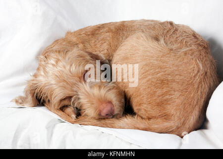 Hungarian Vizsla pup curled up asleep - Stock Image