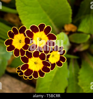 Dark red and yellow flowers of the Primula 'Gold Lace' plant. - Stock Image