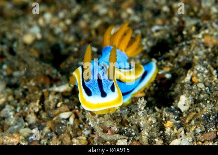 Nudibranch, Lembeh Strait, North Sulawesi, Indonesia - Stock Image