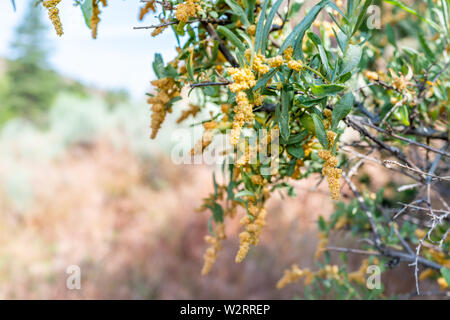 Closeup of yellow catkin flowers on olive tree on Main Loop trail in Bandelier National Monument in New Mexico - Stock Image