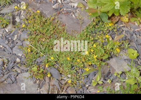 Hypericum humifusum, Trailing St Johns Wort, Wales, UK - Stock Image