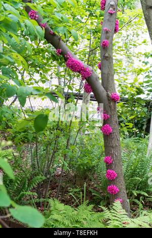 appalachian redbud, redbud tree - Stock Image