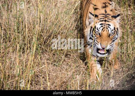 Wild Bengal Tiger, Panthera tigris tigris, snarling, Bandhavgarh Tiger Reserve, India - Stock Image