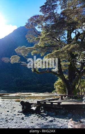 Tree on shoreline with boardwark at Milford Sound, New Zealand - Stock Image