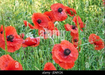 Field poppies near the Cotswold village of Ford, Gloucestershire - Stock Image