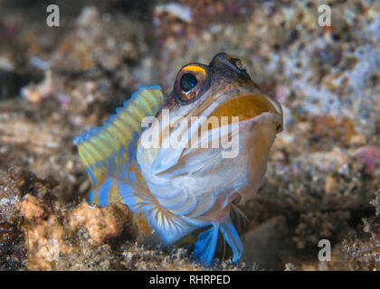 Yellowheaded Jawfish (Opistognathus aurifrons) inncubating eggs in its mouth emerges from burrow. Lembeh Straits, Indonesia - Stock Image
