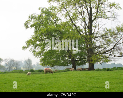 Sheep grazing on grass near trees - Stock Image