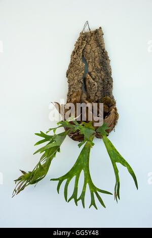 Houseplant hanging on wall - Stock Image