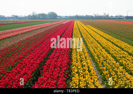 Lisse, Holland - April 18, 2019: Traditional Dutch tulip field with rows of red and yellow flowers and houses in the background - Stock Image