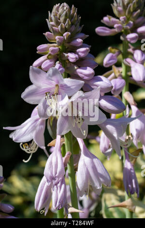 Hosta (Hosta cultivar), close up to the flower head - Stock Image