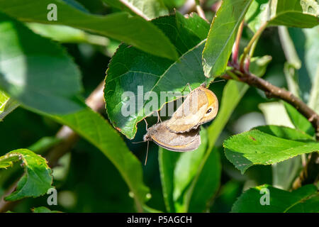 Pair of meadow brown butterflies mating on a green leaf - Stock Image