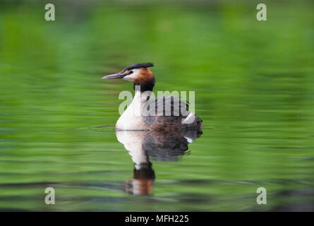 Great Crested Grebe, (Podiceps cristatus), Regent's Park, London, United Kingdom, British Isles - Stock Image