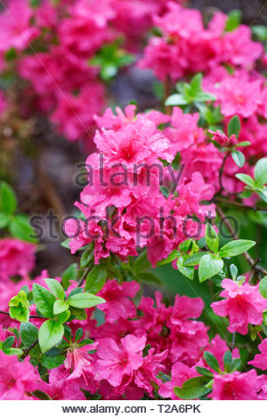Rhododendron 'Betty' flowers. - Stock Image