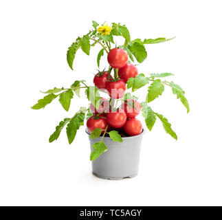 Fresh  home grown tomato plant with tomatoes. Concept of huge harvest - Stock Image