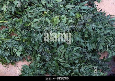 indica-sativa hybrid, trichomes, colas, cannabis plant, marijuana plant, medical marijuana, alternative medicine, - Stock Image