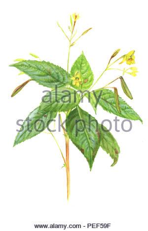 springwort small impatiens - Stock Image