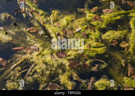 Filamentous algae or blanket weed contaminating a garden  pond, dense growth around aquatic plants in early spring - Stock Image