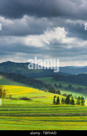 Green and yellow blooming pasture meadows and Pieniny mountains,Poland. - Stock Image