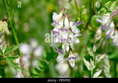 Wood Vetch (vicia sylvatica); close up of a cluster of flowers pushing up through the undergrowth. - Stock Image