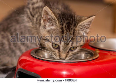 Small baby cat enjoying its new breeder. Drinking water seems like a new discovery. - Stock Image