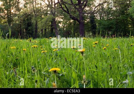 meadow in front of trees - Stock Image