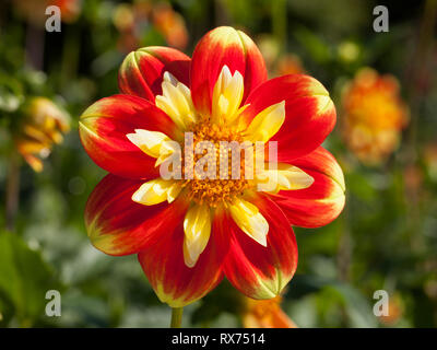 Dahlia, Botanical garden, Additional-Rights-Clearance-Info-Not-Available - Stock Image