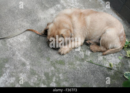Cute puppy fuzzy tan napping - Stock Image