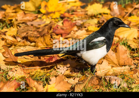 Magpie (Pica pica) foraging for food amongst fallen leaves in autumn - Stock Image