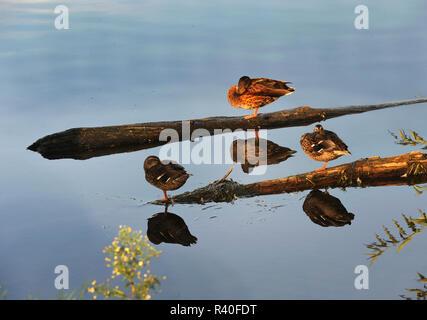 Ducks on branches, Little Falls, Minnesota - Stock Image