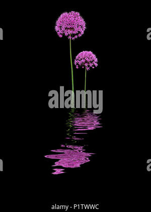 Two purple alliums reflected in water - Stock Image