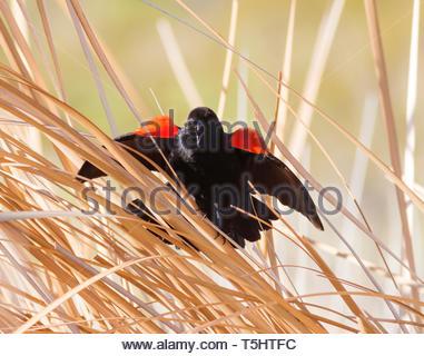 Red-winged Blackbird, Agelaius phoeniceus, male, displaying in dry stalks in Arizona USA - Stock Image