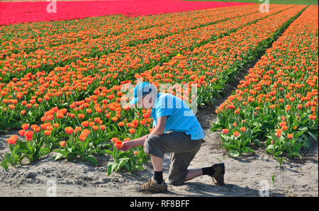 Man looking in the Fields of Tulips in Holland specially grown for their famous bulbs - Stock Image