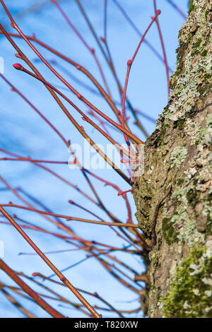 Red brown twigs coming out from the trunk of a Lime Tree (Tilia) in Winter in the UK. - Stock Image