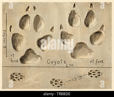 Coyote  tracks. Halftone reproduction of an Ernest Thompson Seton illustration - Stock Image