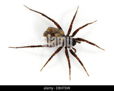 A female Common Wolf-Spider (Pardosa pullata), carrying its spiiderlings on its back, part of the family Lycosidae - Stock Image