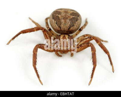 Female Crab spider (Xysticus cristatus) on white background. Crab spiders aree part of the family Thomisidae. - Stock Image