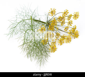 Fennel (Foeniculum vulgare) flowers and leaves isolated on a white background - Stock Image