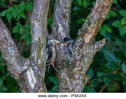 Fleet, Hampshire, UK. 26th June 2018. A Great Spotted Woodpecker feeds a youngster with fat and seeds on the hottest day so far this year. Credit: Images by Russell/Alamy Live News - Stock Image