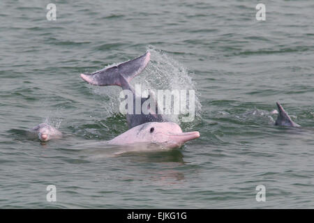 Chinese White Dolphin, Sousa chinensis, Indo-Pacific humpback dolphins playing in Hong Kong - Stock Image