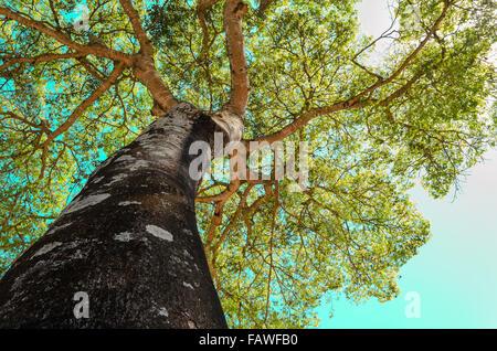 canopy tree (ceiba-speciosa) - Stock Image