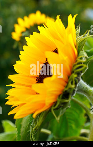 Sunflower in full bloom in the summer sun, side view, bright and warm colors - Stock Image